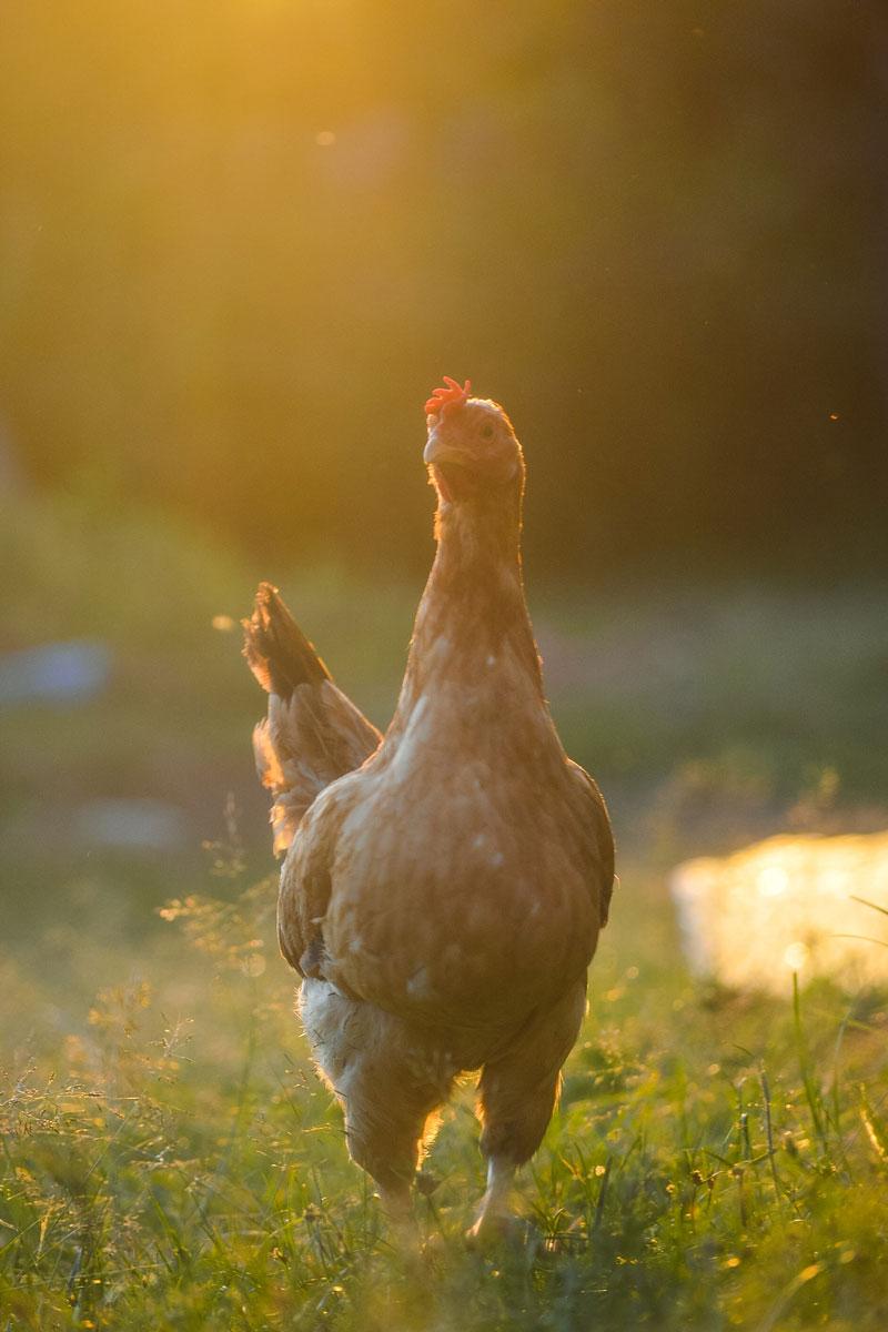 gallina-ovos-entrelampo